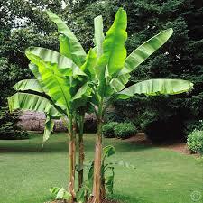 plants_banana