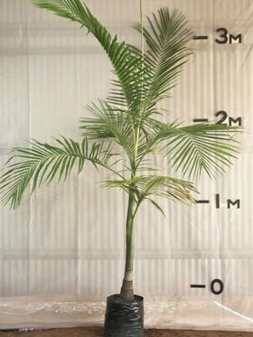 plants_bangalowpalm
