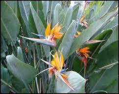 plants_birdofparadise