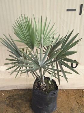 plants_bismarkiapalm1