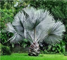 plants_bismarkiapalm2