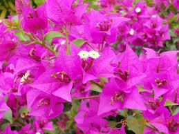 plants_bougainvillea