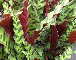 plants_calantheainsignis