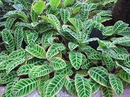 plants_calantheazebrina