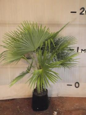 plants_chinesewindmillpalm1