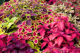 plants_coleus