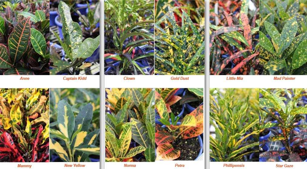 plants_croton