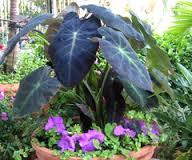 plants_elephantear2