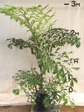 plants_fishtailpalm
