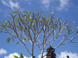 plants_frangipani1