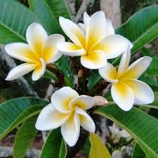 plants_frangipani2