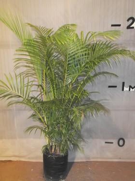 plants_goldencanepalm