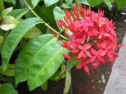 plants_ixora