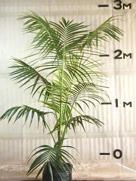 plants_kentiapalm