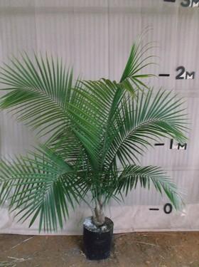 plants_palmmajestic