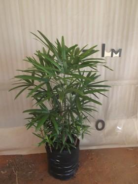 plants_rhapispalm